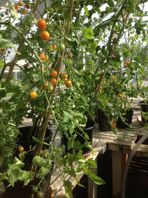 carol smith tomatoes